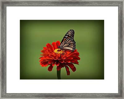 Butterfly On Zinnia Framed Print by Sandy Keeton