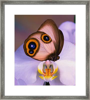 Butterfly Silky Owl  Taenaris Catops Framed Print by Leslie Crotty