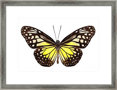 Butterfly Species Parantica Aspasia Common Name Yellow Glassy Ti Framed Print by Pablo Romero