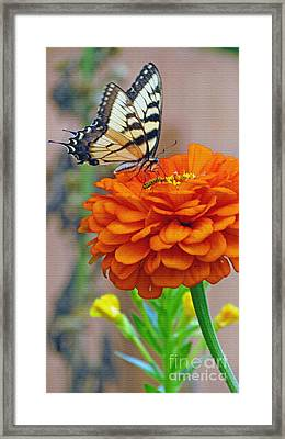 Butterfly With Colorful Zinnia Framed Print by Kay Novy