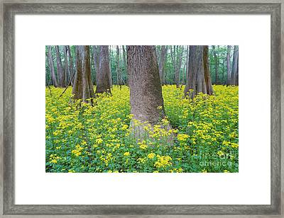 Butterweed Blooming In Congaree Framed Print by Jeff Lepore