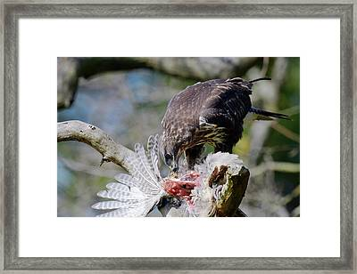 Buzzard Preying On A Bird Carcass Framed Print by Dr P. Marazzi