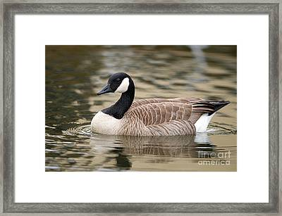 Cackling Goose Framed Print by Sharon Talson