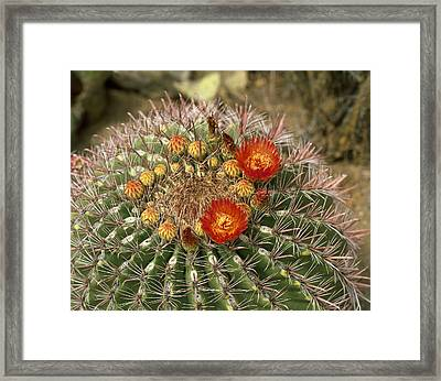 Cactus Close Up � Angelo Cavalli  Tips Framed Print by Tips Images