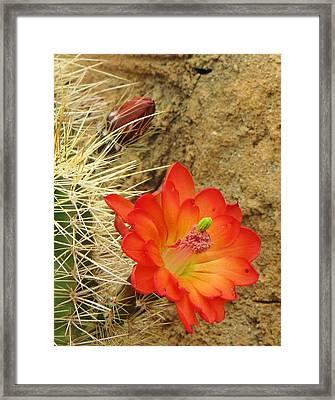 Cactus Flower Bright Framed Print by Feva  Fotos