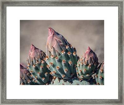 Cactus Flower Buds Framed Print by Joseph Smith