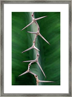 Cactus Spines Framed Print by Bildagentur-online/mcphoto-schulz