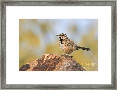 Cactus Wren On Rock Framed Print by Bryan Keil