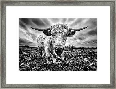 Cadzow White Cow Female Framed Print by John Farnan