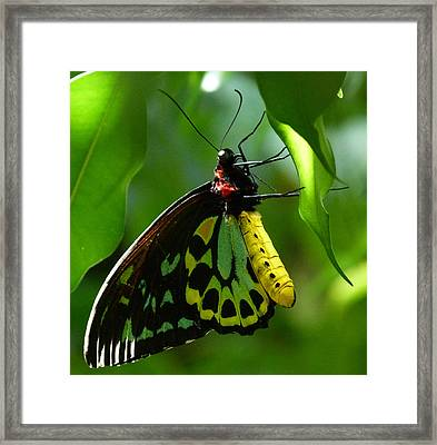 Cairns Birdwing Butterfly 3 Framed Print by Margaret Saheed
