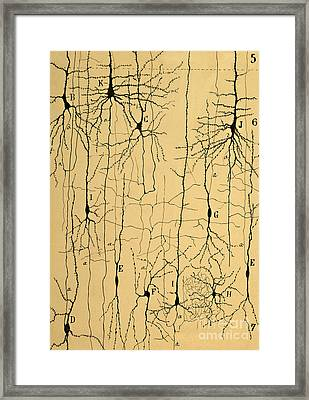 Cajal Drawing Of Microscopic Structure Of The Brain 1904 Framed Print by Science Source