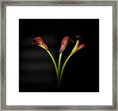 Cala Lily 4  Framed Print by Mark Ashkenazi