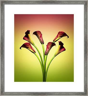 Cala Lily 6 Framed Print by Mark Ashkenazi