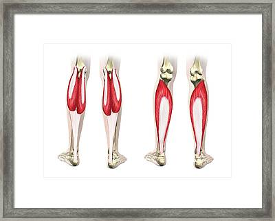 Calf Muscles Framed Print by Henning Dalhoff