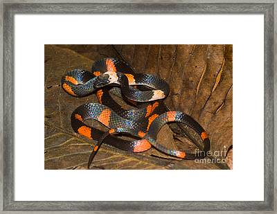 Calico Snake Framed Print by William H. Mullins