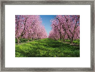 California Peach Tree Orchard  Framed Print by Anonymous