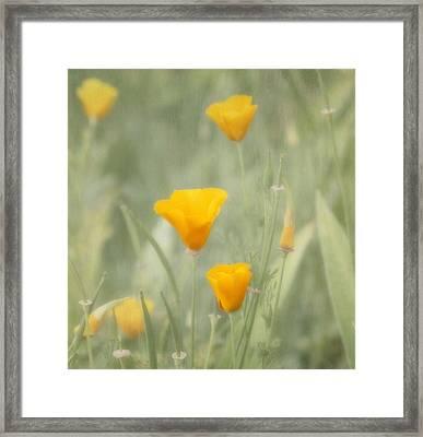 California Poppies Framed Print by Kim Hojnacki