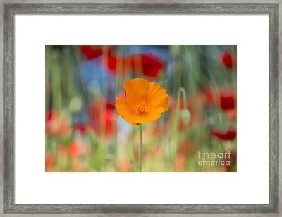 California Poppy Framed Print by Tim Gainey