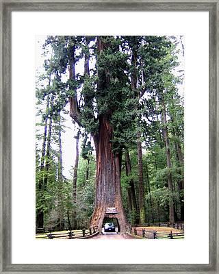 California Redwoods 6 Framed Print by Will Borden