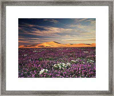 California, Sand Verbena Wildflowers Framed Print by Christopher Talbot Frank