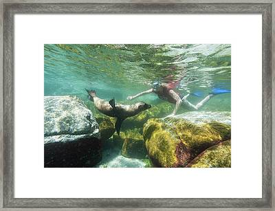California Sea Lion Framed Print by Christopher Swann