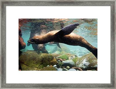 California Sea Lion In Shallow Water Framed Print by Christopher Swann