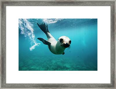 California Sea Lion Pup Framed Print by Christopher Swann