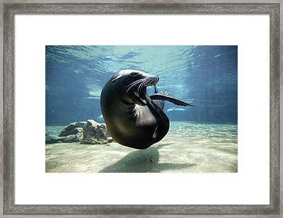 California Sea Lion Yawning Framed Print by Hiroya Minakuchi