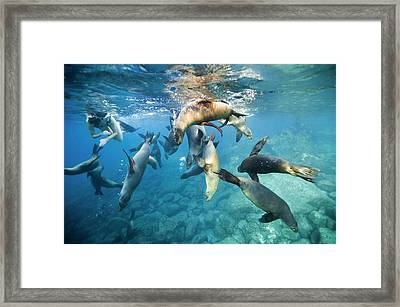 California Sea Lions And Snorkeller Framed Print by Christopher Swann
