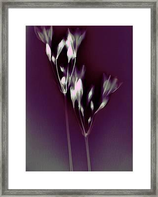 Californian Bluebells Framed Print by Susan Leake