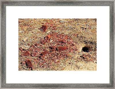 Californian Ground Squirrel Burrow Framed Print by Ashley Cooper