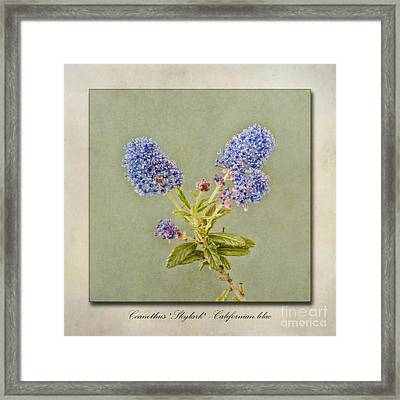 Californian Lilac Framed Print by John Edwards