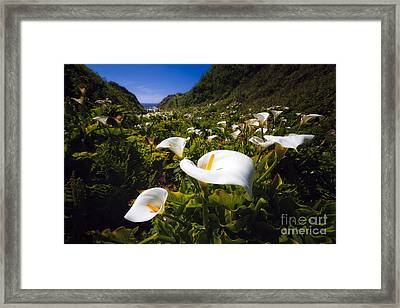 Calla Lilies Of Big Sur  Framed Print by George Oze