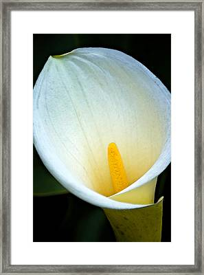 Calla Lily Framed Print by Jason KS Leung