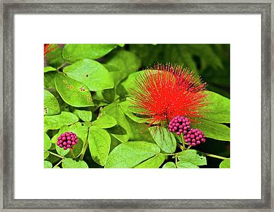 Calliandra Emarginata In Flower Framed Print by K Jayaram