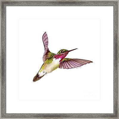 Calliope Hummingbird Framed Print by Amy Kirkpatrick
