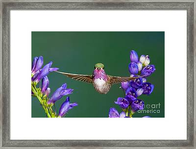 Calliope Hummingbird Stellula Calliope Framed Print by Anthony Mercieca
