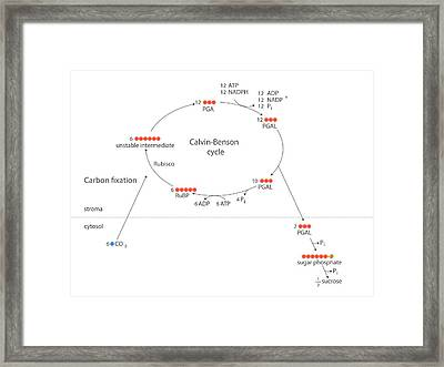 Calvin-benson Metabolic Cycle Framed Print by Science Photo Library
