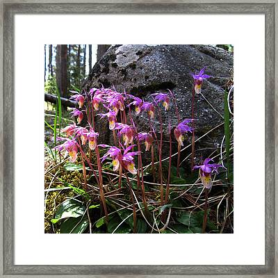 Calypso Orchids Framed Print by Shirley Sirois