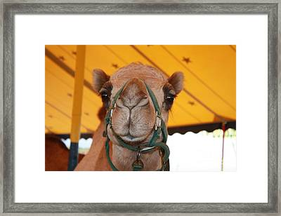 Camel Headshot Framed Print by John Telfer
