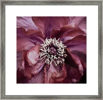 Camellia Framed Print by Frank Tschakert