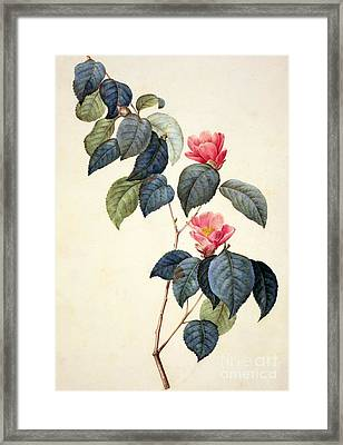Camellia Japonica Framed Print by Pierre Joseph Redoute