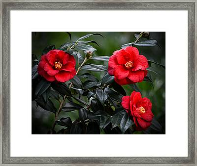 Camellias Framed Print by Zina Stromberg