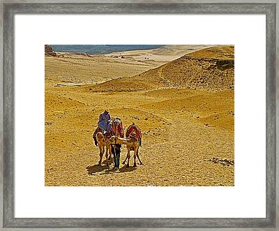 Camels Nuzzling On The Giza Plateau-egypt  Framed Print by Ruth Hager