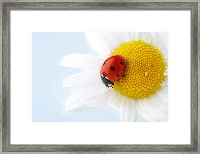 Camomile Flower Framed Print by Boon Mee