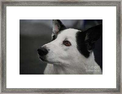 Canaan Dog Framed Print by DejaVu Designs