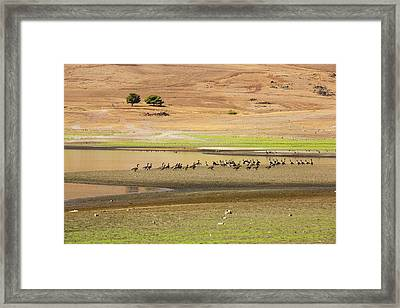 Canada Geese At Lake Success Framed Print by Ashley Cooper