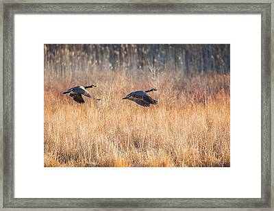 Canada Geese Framed Print by Bill Wakeley
