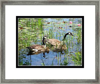 Canada Geese Family On Lily Pond Framed Print by Rose Santuci-Sofranko