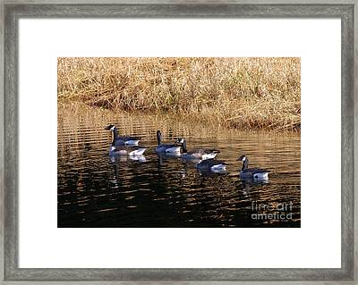 Canada Geese Framed Print by Sharon Talson